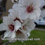 almondBlossom