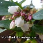 blueberryBlossom